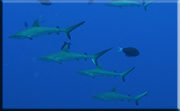 sharks on tubbataha reef